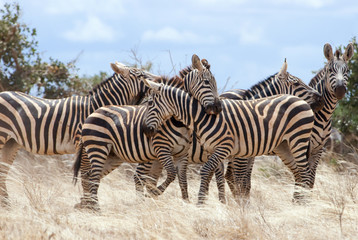 Zebras (Equus quagga) playing, Tsavo East National Park, Kenya