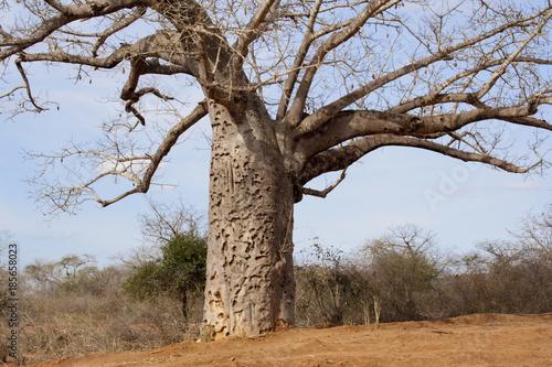 Fotobehang Baobab Baobab tree in Kenyan savanna.