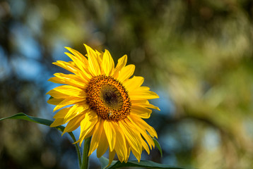single yellow sunflower facing right under the sun