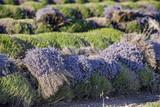 bottes de lavandes coupées près du village de Sault - 185679896