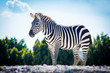 Beautiful zebra standing alone