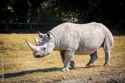 Fotobehang Neushoorn Big white rhino on the ground