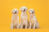 Fototapety Three Labrador Retriever dogs isolated against a yellow background