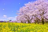 満開の桜と菜の花と桜吹雪 - 185703406