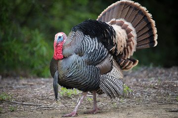 Male wild turkey strutting © MikeFusaro
