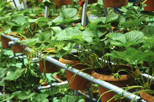 Strawberry farm. Strawberry trees are planted in plastic containers and placed in order on the shelf. - 185719253