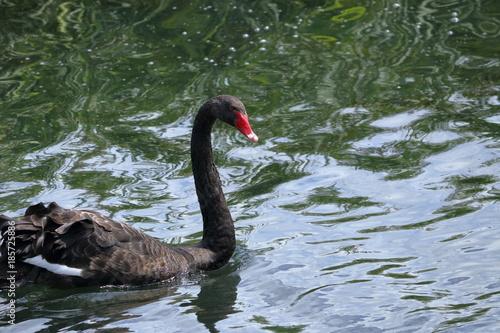 Fotobehang Zwaan black swan