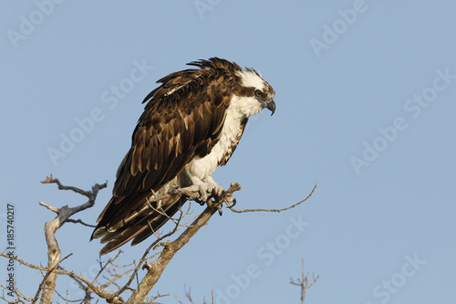 Foto op Canvas Natuur Osprey perched in a dead tree - Bunche Beach, Florida