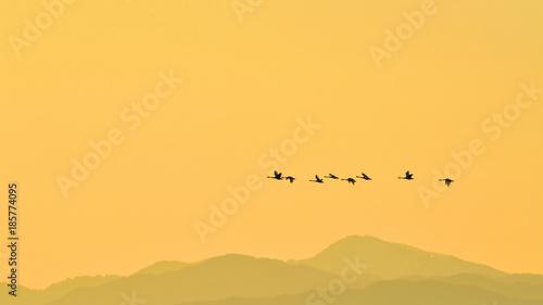 Fotobehang Oranje 夕焼けバックに飛ぶコハクチョウ