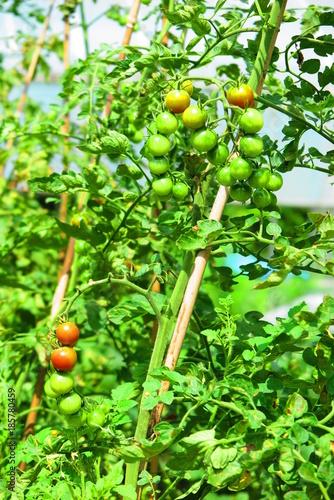 Fotobehang Lime groen 畑のトマトの風景2