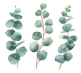 Watercolor hand painted vector set with eucalyptus leaves and branches. - 185786257