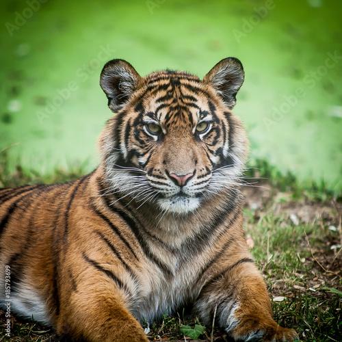 Portrait d'un tigre