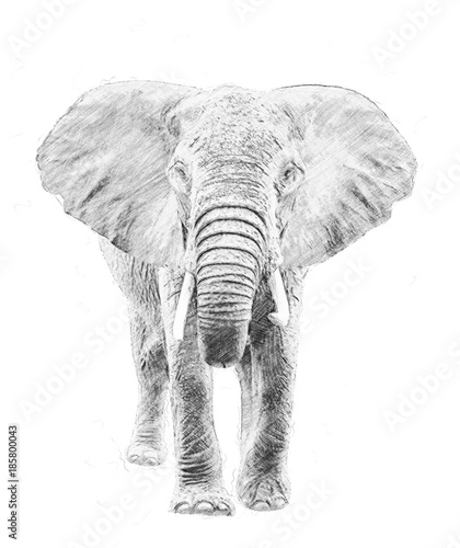 Elephant. Sketch with pencil - 185800043