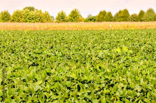 Fotobehang Pistache Soy Bean Plant Field