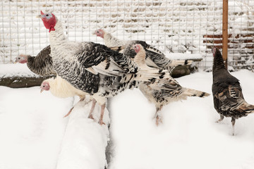 Gobbler. A pack of turkeys in the farmyard yard. Winter snow. The concept of tasty and healthy ecological food produced in the farm.