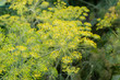 Inflorescence of Dill