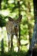 Baby Deer outdoor portrait in Canadian forest