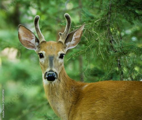 Aluminium Hert Young male Deer outdoor portrait in Canadian forest