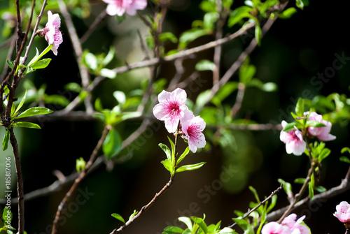 Ciliegio in fiore - 185817006