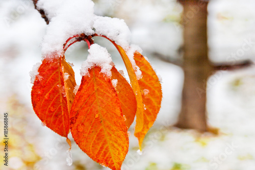 garden in the winter with first snow - japenese cherry tree Poster