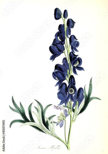Aconitum napellus - 185870415