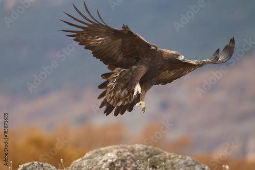 Plexiglas Eagle Golden eagle