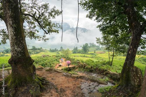 Fotobehang Rijstvelden Under big tree with misty terrace rice field in Lao Cai, Vietnam