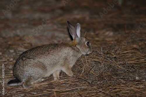 Foto op Canvas Canarische Eilanden European rabbit (Oryctolagus cuniculus). Integral Natural Reserve of Inagua. Tejeda. Gran Canaria. Canary Islands. Spain.