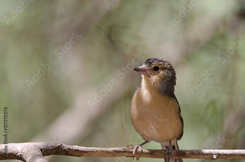 Deurstickers Canarische Eilanden Common chaffinch (Fringilla coelebs canariensis). Male. The Nublo Rural Park. Tejeda. Gran Canaria. Canary Islands. Spain.