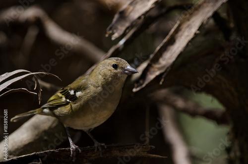 Deurstickers Canarische Eilanden Common chaffinch (Fringilla coelebs canariensis). The Nublo Rural Park. Tejeda. Gran Canaria. Canary Islands. Spain.