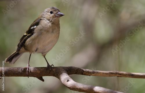 Deurstickers Canarische Eilanden Common chaffinch (Fringilla coelebs canariensis). Young male. The Nublo Rural Park. Tejeda. Gran Canaria. Canary Islands. Spain.