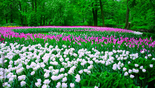 Fotobehang Groene field of colorful tulips, planted a spiral of color in the Park