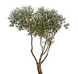Olive tree on white background - 185962470