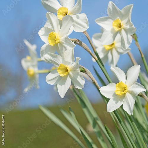 Weiße Narzissen, Narcissus, Frühling