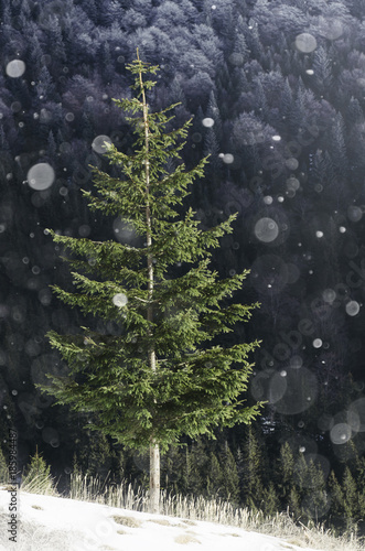 Foto op Canvas Grijze traf. green pine tree in winter during snowfall