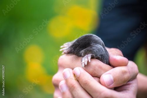 Foto op Canvas Natuur Cute mole in a man's hands