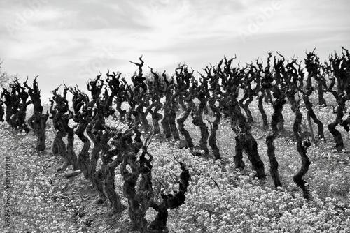 Vineyard Thriller