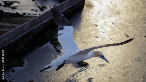 Fotobehang Dolfijn Gannet Helgoland Germany
