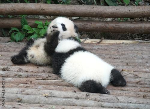 Fotobehang Panda Baby panda playing and sleeping outside