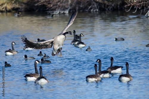 Foto op Plexiglas Canada Canada Goose Landing Among Friends on the Still Blue Pond Water