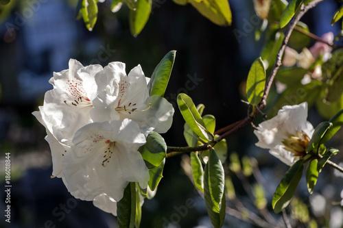 Aluminium Azalea Rhododendron (azalea)