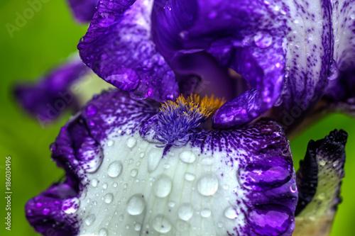 Fotobehang Iris The flower of a decorative iris growing in a summer garden.