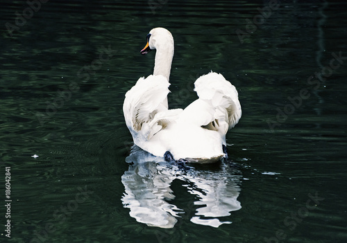 Fotobehang Swans - Cygnus in the water, bird scene, dark filter
