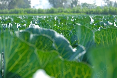 Fotobehang Groene Growing cabbage farm field - Crop plots