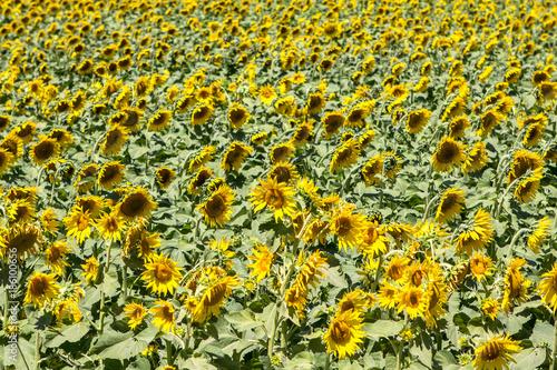Fotobehang Geel Big sunflower field