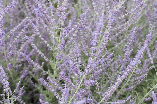 Fotobehang Lavendel Purple Violet Lavender Flowers Background