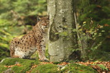 Lynx is the biggest cat beast of Europe.