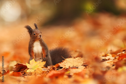 Poster The squirrel was photographed in the Czech Republic. Squirrel is a medium-sized rodent. Inhabiting a wide territory ranging from Western Europe to Eastern Asia.Animal in the wild. Beautiful picture of