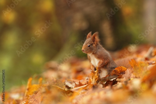Tuinposter Eekhoorn The squirrel was photographed in the Czech Republic. Squirrel is a medium-sized rodent. Inhabiting a wide territory ranging from Western Europe to Eastern Asia.Animal in the wild. Beautiful picture of