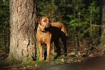 Big dog in the woods. Big dog at tree in forest. Dog in nature.